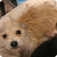 Adopt A Pet :: Sherry - tiny wirey cuteness - Phoenix, AZ