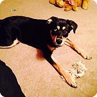 Adopt A Pet :: Shiva - Brewster, NY