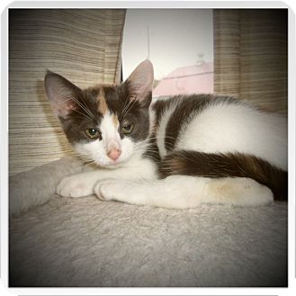 Domestic Shorthair Kitten for adoption in Medford, Wisconsin - HAZEL