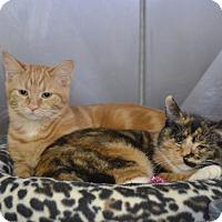 Adopt A Pet :: Bindi - Byron Center, MI