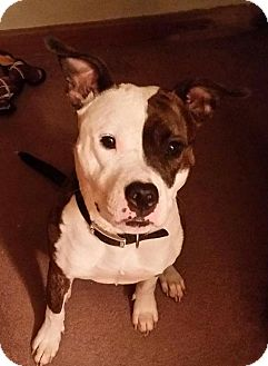 American Pit Bull Terrier Mix Dog for adoption in West Allis, Wisconsin - Zoey
