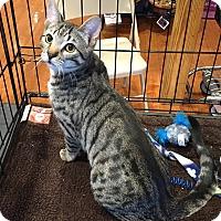 Adopt A Pet :: Paddy - Horsham, PA