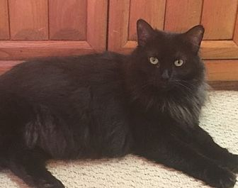 Domestic Mediumhair Cat for adoption in Toledo, Ohio - Lacey