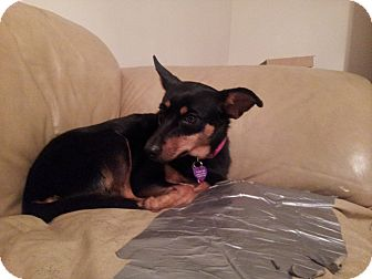 Miniature Pinscher Dog for adoption in West Bridgewater, Massachusetts - Rosie