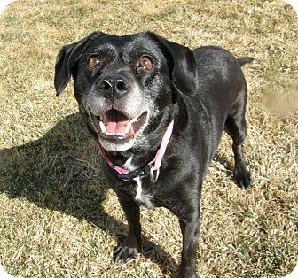 Labrador Retriever Mix Dog for adoption in Meridian, Idaho - Jimmies