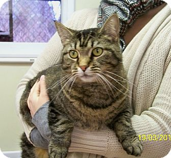 Domestic Shorthair Cat for adoption in Dover, Ohio - Holly