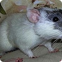 Adopt A Pet :: Ace - Lakewood, WA
