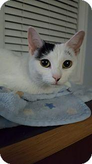 Domestic Shorthair Cat for adoption in Huntley, Illinois - Marilyn Monroe