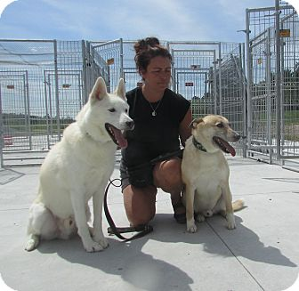 Husky/Whippet Mix Dog for adoption in Cornwall, Ontario - kavik and Laskin