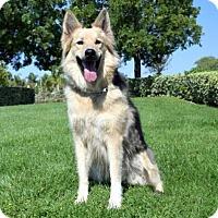 German Shepherd Dog Dog for adoption in San Diego, California - Whitney