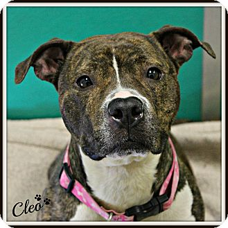 Pit Bull Terrier Mix Dog for adoption in Dunkirk, New York - Cleo