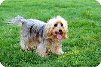 Australian Terrier Mix Dog for adoption in Brattleboro, Vermont - SADIE SUNSHINE