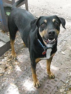 Boxer/Hound (Unknown Type) Mix Dog for adoption in Hagerstown, Maryland - Rubix