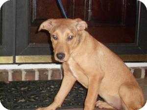 Shepherd (Unknown Type)/Labrador Retriever Mix Dog for adoption in Raleigh, North Carolina - SHELLY