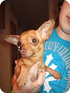 Chihuahua Mix Dog for adoption in Bellingham, Washington - Nutmeg