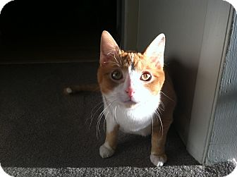 Domestic Shorthair Cat for adoption in St. Louis, Missouri - Macintosh