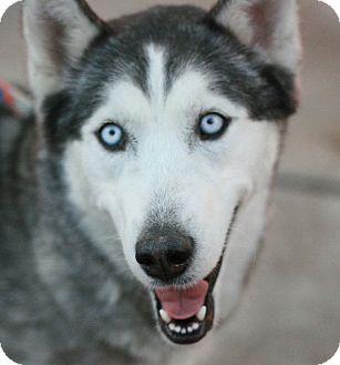 Siberian Husky Dog for adoption in Canoga Park, California - Luna