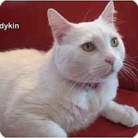 Adopt A Pet :: Ladykin - Portland, OR