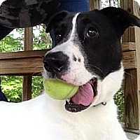 Adopt A Pet :: Taylor - New Boston, NH