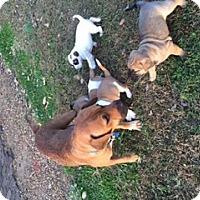 Adopt A Pet :: Harley - Hixson, TN