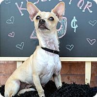 Adopt A Pet :: Kasper-Adoption pending - Bridgeton, MO