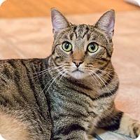 Adopt A Pet :: Silver - Chicago, IL