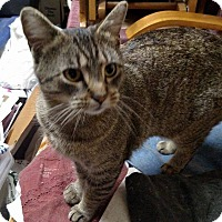 Domestic Shorthair Cat for adoption in South Bend, Indiana - Fiona