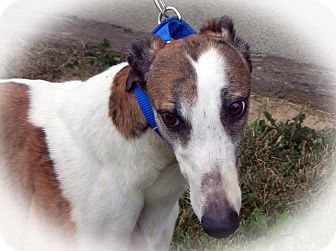 Greyhound Mix Dog for adoption in Florence, Kentucky - Mary