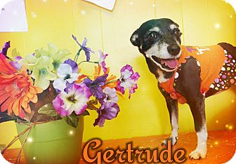 Chihuahua Mix Dog for adoption in Odessa, Texas - Gertrude