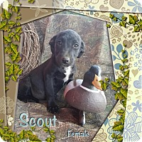 Adopt A Pet :: Scout in CT - Manchester, CT