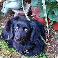 Dachshund/Cocker Spaniel Mix Dog for adoption in Andalusia, Pennsylvania - Julio