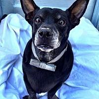 Chihuahua/Corgi Mix Dog for adoption in Sun Valley, California - ARTHUR