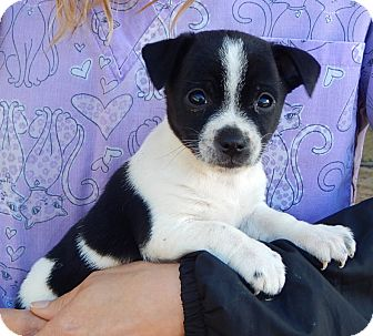 Boston Terrier/Australian Shepherd Mix Puppy for adoption in Niagara Falls, New York - Dix (3 lb) Video!