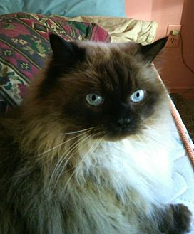 Himalayan Cat for adoption in Richmond Hill, Ontario - Kahlua (Bonded w/Sherry)