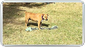 Bull Terrier Mix Dog for adoption in Ruskin, Florida - Mocha