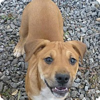 Adopt A Pet :: Red Female - Westminster, MD