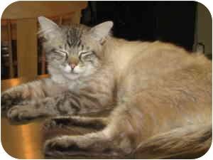 Siamese Cat for adoption in Loveland, Colorado - Petey
