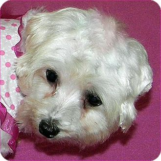 Maltese Dog for adoption in Burneyville, Oklahoma - BONNIE JEAN - ADOPTION PENDING
