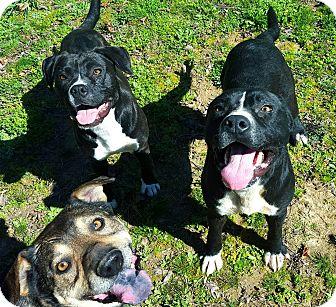 Bulldog/Labrador Retriever Mix Dog for adoption in Brattleboro, Vermont - Cain