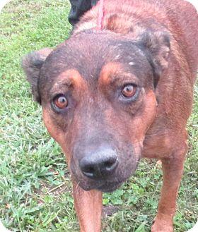 Terrier (Unknown Type, Medium)/Hound (Unknown Type) Mix Dog for adoption in Reeds Spring, Missouri - Cocoa