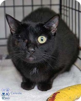 Domestic Shorthair Cat for adoption in Merrifield, Virginia - Celeste