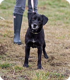 Labrador Retriever Mix Dog for adoption in Mooresville, Indiana - Jiffy
