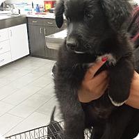 Adopt A Pet :: Bronco - Sacramento, CA