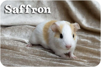 Guinea Pig for adoption in Fullerton, California - Saffron - Dawn