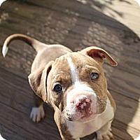 Adopt A Pet :: PUPPIES! - Reisterstown, MD