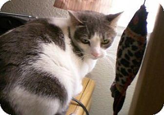 Siamese Cat for adoption in Simi Valley, California - Akita