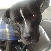 Adopt A Pet :: Baby Kobie :-) - Smithtown, NY