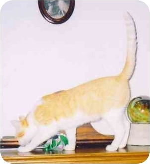 Domestic Shorthair Cat for adoption in Fayette, Missouri - Freedom