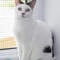 Domestic Mediumhair Cat for adoption in South Amana, Iowa - Spice