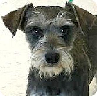 Schnauzer (Miniature) Dog for adoption in Boulder, Colorado - Emily-ADOPTION PENDING
